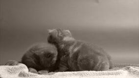 Kätzchen, die auf einem Tuch sitzen stock footage