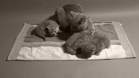 Kätzchen, die auf einem Tuch spielen stock video