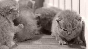 Kätzchen, die auf hölzernem Hintergrund, weißer Zaun kämpfen stock video