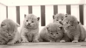 Kätzchen, die auf hölzernem Hintergrund, weißer Zaun kämpfen stock video footage