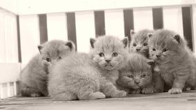 Kätzchen, die auf hölzernem Hintergrund, weißer Zaun kämpfen stock footage