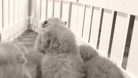 Kätzchen, die auf hölzernem Hintergrund, weißer Zaun schlafen stock footage
