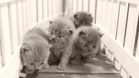 Kätzchen, die auf orange Hintergrund, weißer Zaun kämpfen stock footage