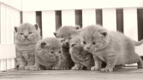 Kätzchen, die auf orange Hintergrund, weißer Zaun kämpfen stock video