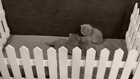 Kätzchen, die in einem kleinen Yard, weißer Zaun kämpfen stock video footage