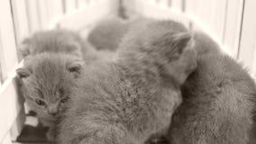 Kätzchen, die hölzernen Hintergrund, weißen Zaun weitergehen stock footage