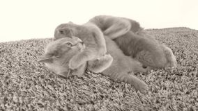 Kätzchen, die von der Mutter, liegend auf dem Teppich säugen stock footage