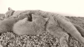 Kätzchen, die von der Mutter, liegend auf dem Teppich säugen stock video