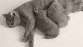 Kätzchen, die von der Mutter, weißer Hintergrund säugen stock video footage