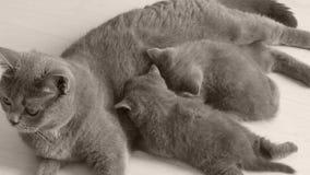 Kätzchen, die von der Mutter, weißer Hintergrund säugen stock footage