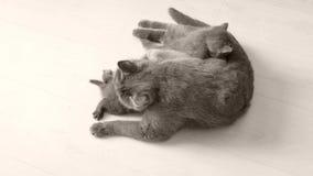 Kätzchen, die von der Mutter, weißer Hintergrund säugen stock video