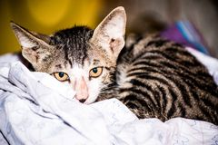 Kätzchen geschaukelt oben im Bett in einem Haus direkt herein schauen zu den Augen stockfoto