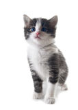 Kätzchen getrennt Lizenzfreies Stockfoto