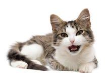 Kätzchen hat einen Mund geöffnet Stockbild