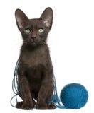 Kätzchen Havana-Brown mit Kugel des blauen Garns lizenzfreie stockbilder