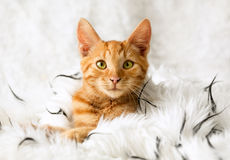 Kätzchen im Bett Stockbild