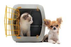 Kätzchen im Haustierträger und -Chihuahua Stockbild