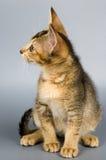 Kätzchen im Studio Stockfotografie