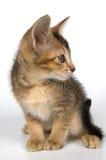 Kätzchen im Studio Lizenzfreies Stockfoto