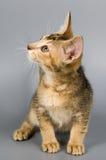 Kätzchen im Studio Stockfotos