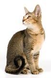 Kätzchen im Studio auf einer neutralen Person Stockfotografie