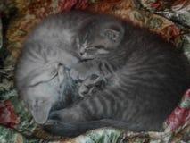 Kätzchen, Katze, Katzen, Haustiere, schottische gerade, schottische Falte stockbilder