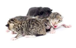 Kätzchen, Katzen 2 Tage alt Stockbilder