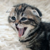 Kätzchen lacht Lizenzfreie Stockfotos