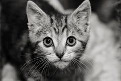 Kätzchen mit einem intensiven Stare Stockbilder