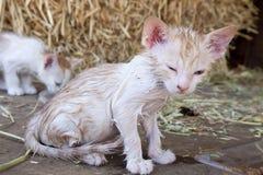 Kätzchen mit Flöhen Lizenzfreies Stockfoto