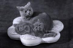 Kätzchen mit ihrer Mutter auf einem Kissen Lizenzfreie Stockbilder