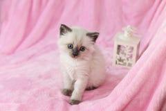 Kätzchen mit Laterne auf rosa Hintergrund lizenzfreies stockfoto