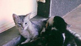 Kätzchen mit Mutterkatzen-Weinlesegesamtlänge stock video footage