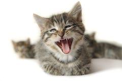 Kätzchen mit weit offenem Mund Stockfotos