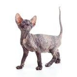 Kätzchen oder Katze Sphynx lokalisiert lizenzfreies stockbild