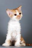 Kätzchen rot-weißer Farbe Zucht Selkirk Rex auf grauem Hintergrund I Stockbild