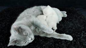 Kätzchen säugen von der Mutter, Britisch Kurzhaar-Zucht stock video footage