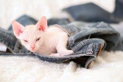 Kätzchen schläft in der Tasche von Blue Jeans Stockfoto