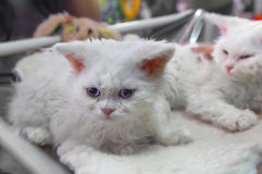 Kätzchen Selkirk Rex lizenzfreies stockbild