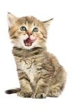 Kätzchen sitzt geleckt Lizenzfreie Stockfotos