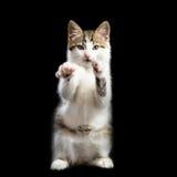 Kätzchen steht auf zwei Tatzen, welche die zweiten Tatzen anheben lizenzfreie stockfotos