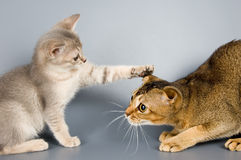Kätzchen- und Erwachsenkatze Stockbild