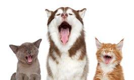 Kätzchen und Welpe singen ein Lied Lokalisiert auf Weiß Lizenzfreies Stockbild