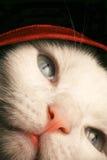 Kätzchen unter Abdeckung Stockbild