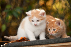 Kätzchen zwei Lizenzfreie Stockfotos