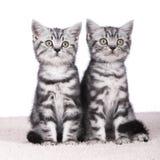 Kätzchen zwei lokalisiert lizenzfreie stockfotografie