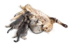 Kätzchenbrut, die durch die glückliche Mutterkatze lokalisiert auf Weiß einzieht Lizenzfreie Stockfotografie