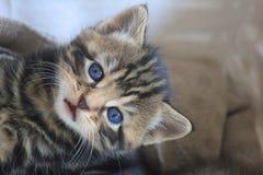 Kätzchengrau im Vordergrund Lizenzfreie Stockfotografie
