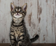 Kätzchenkater der getigerten Katze weniger Wochen alter auf hellem hölzernem Hintergrund Stockfoto