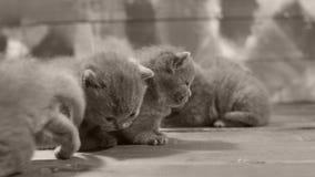 Kätzchenporträt auf einem hölzernen Hintergrund, Nahaufnahme stock footage
